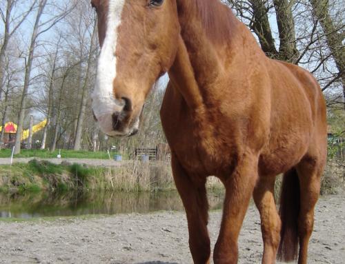 Oudere paarden vermageren in de winter, of niet?