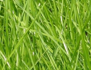 Vers gras in de wei geeft gezondheidsrisico's voor paarden