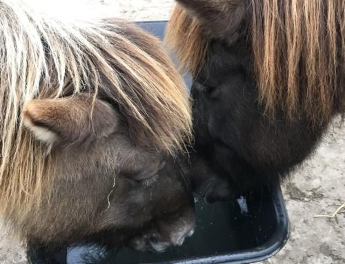 Drinkt uw paard wel voldoende water?